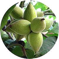 лист чёрного ореха купить