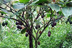 лист чёрного ореха